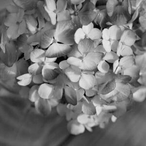 Black and White | Hydrangea Wall Art | Floral Wall Decor | Shabby Chic