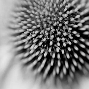 Black and White ConeFlower Wall Art