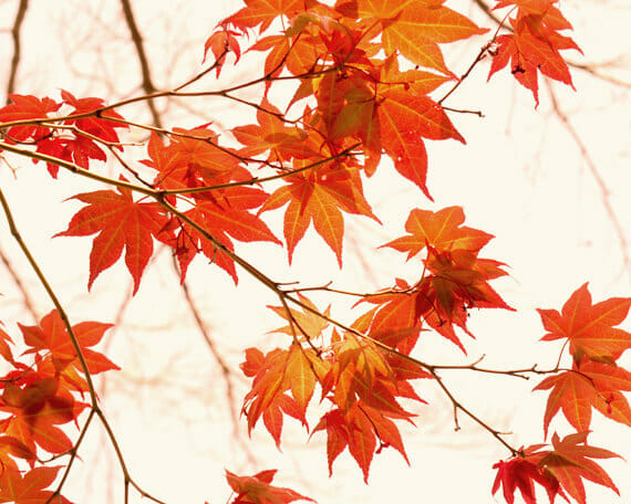 Burnt Orange Leaf Photography | Red Maple Leaves Wall Decor