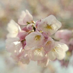 Cherry Blossom Floral Wall Art | Sakura Wall Art | Washington DC Wall Art