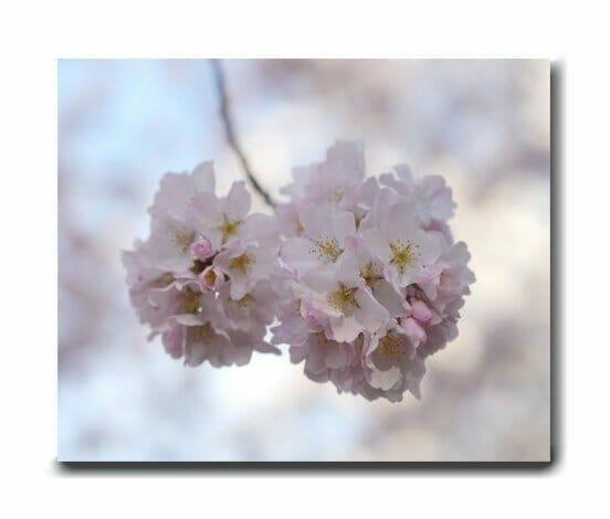 Cherry Blossom Canvas Wall Art   Spring in Washington DC
