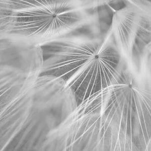 Close Up Botanical Wall Art | Black and White Dandelion Wall Art