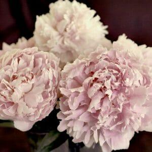 Pink Peony Flower Wall Art
