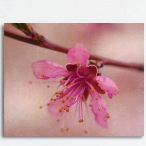 Pink Apple Blossom Wall Art
