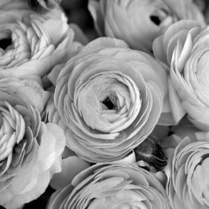Black and white ranunuculus wall art