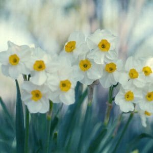 Daffodil Wall Art | Floral Art Decor | Botanical Wall Art
