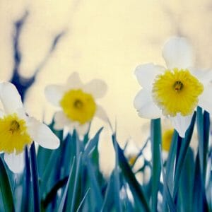 White Daffodil Flower Wall Decor