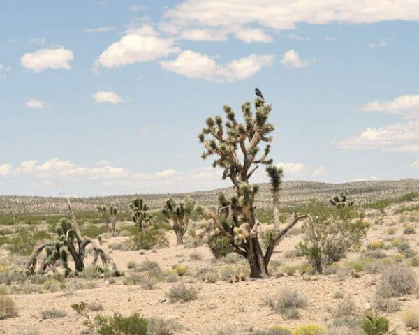 Joshua Tree Wall Art   Desert Landscape Wall Art   California Desert Wall Art