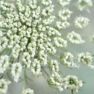 Queen Anne's Lace Flower Wall Art