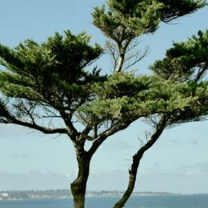 Monterey Bay Cypress Tree Wall Decor