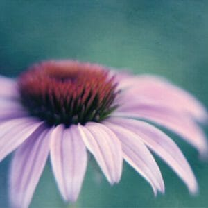 Coneflower Wall Art | Teal Burgundy Lavender Wall Art
