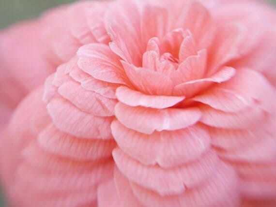 Fine Art Photography of a Beautiful Pink Camellia