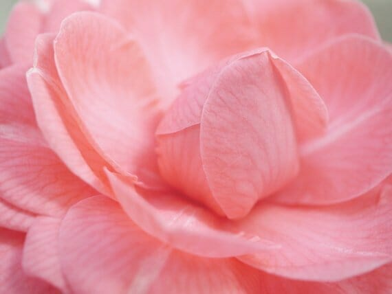 Camellia Wall Art | Pink Flower Wall Art | Pastel Nursery Wall Art Set