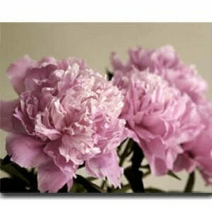 Peony Flower On Canvas Wall Art | Shabby Chic Floral Wall Decor