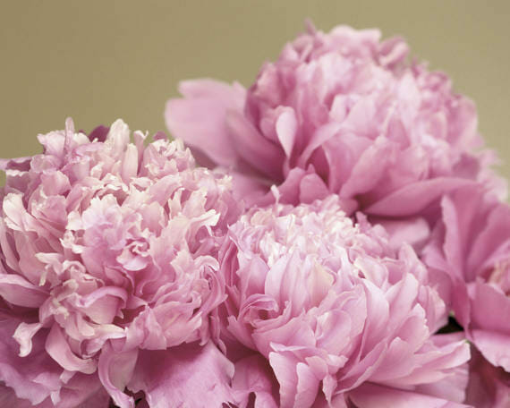 Peony Abstract Photography