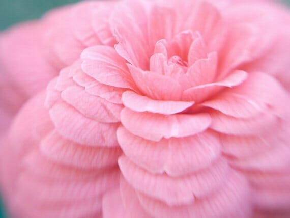Pink Camellia Wall Art | Macro Wall Decor | Dreamy Flower Artwork
