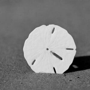 Black and White Sand Dollar Wall Art
