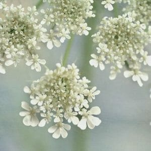 Queen Anne's Lace Flower Wall Art | Spring Art Decor | Floral Wall Art