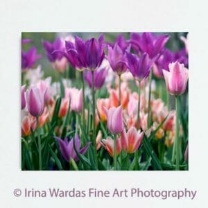 Colorful Tulips Wall Art