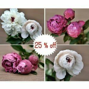 White & burgundy Peony Flower Wall Art Set of 4