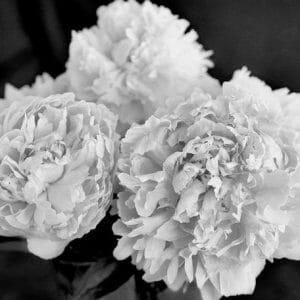 Peony Black and White Flower Wall Decor