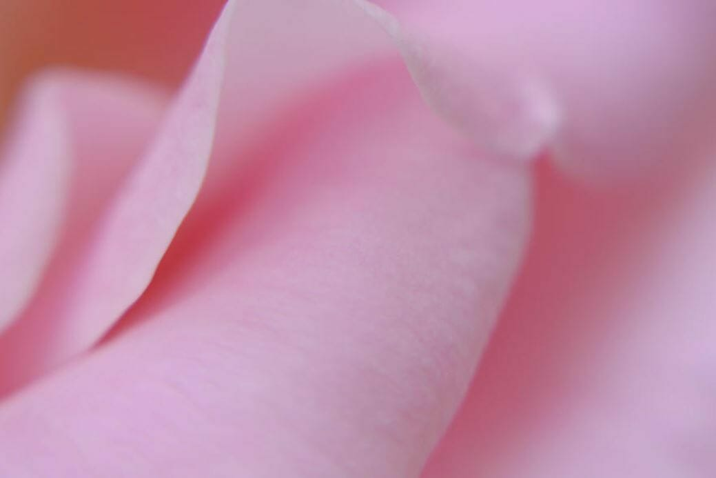 Soothing Pink Rose Image for Peace and Comfort