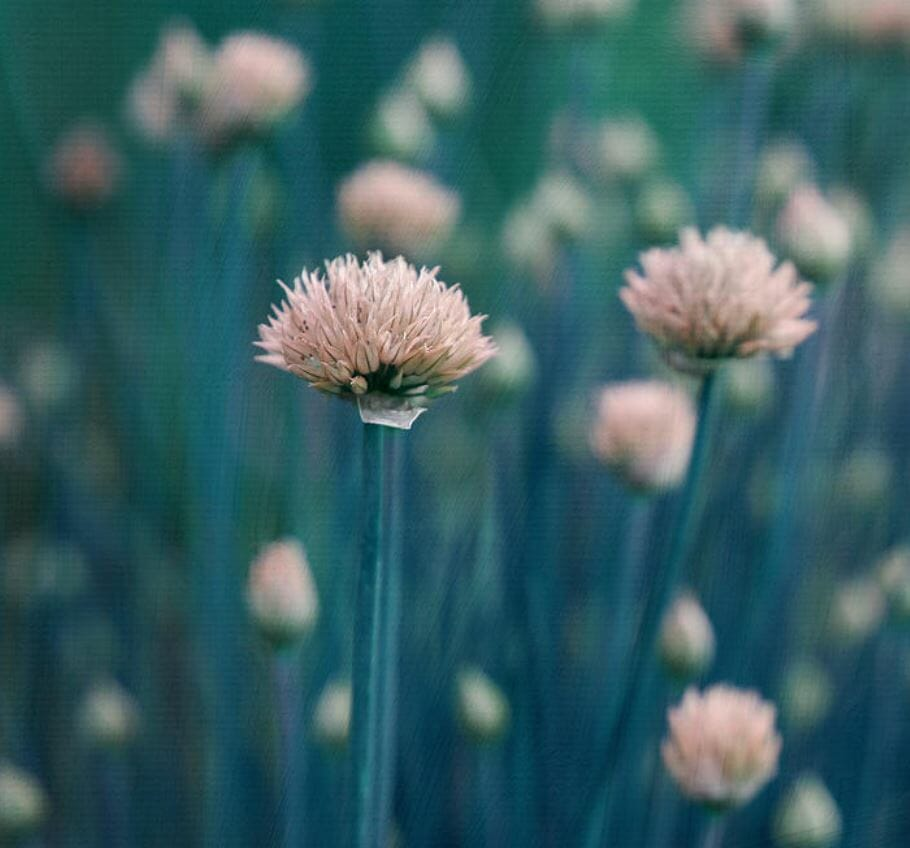 Chives Photography to Protect You from Diseases and Harm