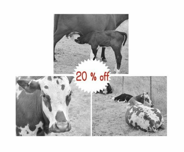 Black and White Cow Photography | Rustic Country Farm Animal Wall Decor